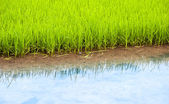 ベトナムの田んぼ — ストック写真