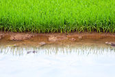 Pirinç alan vietnam — Stok fotoğraf