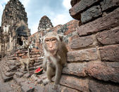 Lopburi Thailand. Monkey — Stock Photo