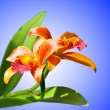Blossoming orchids on blue background — Stock Photo