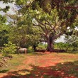 The horse who is grazing under a tree ceiba on the ranch, Cuba — Stock Photo
