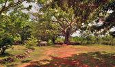 Kůň, který je pastva pod stromy ceiba na ranči, Kuba — Stock fotografie