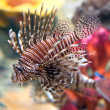 Red lionfish (Pterois volitans) aquarium fish — Stock Photo