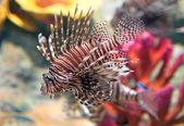 Red lionfish (Pterois volitans) aquarium fish — Stock Photo