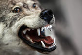 Wild gray wolf animal — Stock Photo