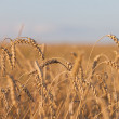 Wheat or rye agriculture field plant — Stock Photo