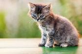 Liten brittiska tamkatt djur promenader utomhus — Stockfoto