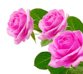 Bouquet pink roses — Stock Photo