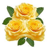 žluté růže — Stock fotografie
