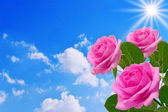 Roses on the sky background — Stock Photo