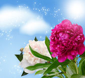 Peonies blossom — Stock Photo