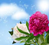 Peonies blossom — Stock Photo