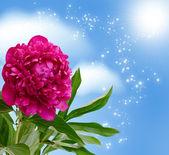 Peony blossom — Stock Photo