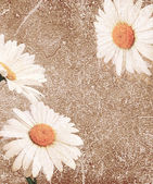 Grunge background with daisies — Stock Photo
