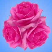 Rosas — Fotografia Stock