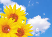 Sunflower and bubbles — Stock Photo