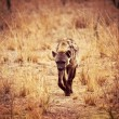 Spotted hyena — Stock Photo #13813950