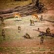 ������, ������: Impala and baboon