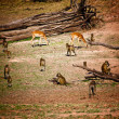 Impala and baboon - Stockfoto