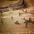 Impala and baboon - Zdjcie stockowe