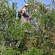 Olive harvest — Stock Photo #18417965