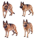 German shepherd collection — Stock Photo