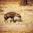 Spotted hyena — Stock Photo #23688167