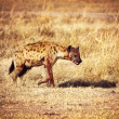 Spotted hyena — Stock Photo #23688289