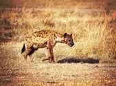 Hiena manchada — Foto de Stock