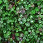 Clover wet Trifolium background — Stock Photo #2678667