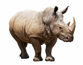 Rhino on white background — Stock Photo