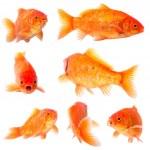Goldfishg — Stock Photo #31526329