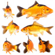 Collection of goldfish pose on white background — Stock Photo #31610081