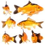 Goldfishg — Stock Photo #31610081