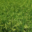 Lush and Green Rice Field — Stock Photo