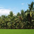 Lush Green Ricefield and Palm Trees — Stock Photo
