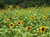Field with Sunflowers — Stock Photo