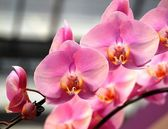 Beautiful Pink Butterfly Orchids — Stock Photo