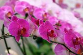 Bright and Purple Butterfly Orchids — Stock Photo