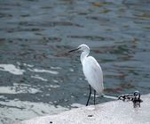Great Egret Bird — Stock fotografie