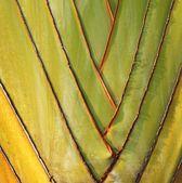 Fan like Leaves of the Traveler Palm — Stock Photo