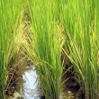 Rice Paddy Closeup — Stock Photo #34382203