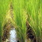 Rice Paddy Closeup — Stock Photo