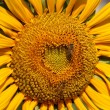 Closeup of a Radiant Sunflower — Stok fotoğraf