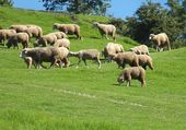 A flock of sheep grazes on lush grass — Stock Photo