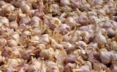 Fresh Purple Garlic — Stockfoto