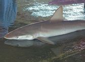Grey Reef Shark for Sale — Stock Photo