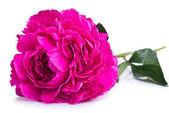 Beautiful pink peony close-up — Stock Photo