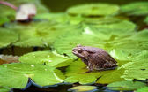 Frog on lilypad — Stock Photo