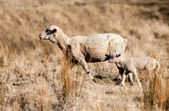 Sheep in drought — Stock Photo